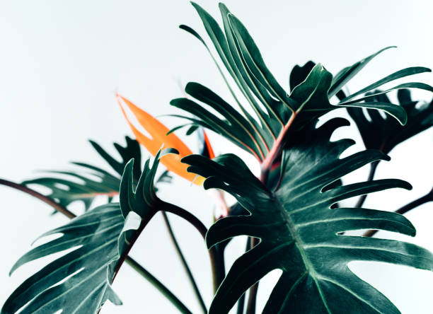 Exotic tropical flower strelizia and xanadu leaves on white background.nature concepts stock photo