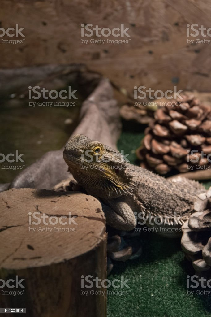 Exotic Wild Animal In Terrarium Water Dragon Stock Images Page