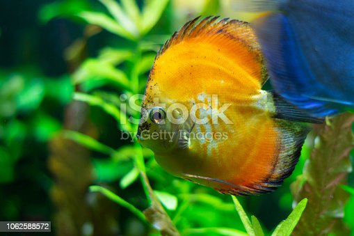 1037450870 istock photo exotic yellow fish in the water 1062588572