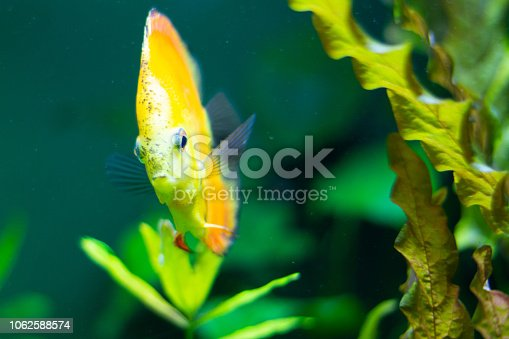 1037450870 istock photo exotic yellow fish in the water 1062588574