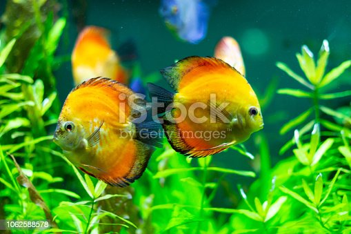 1037450870 istock photo exotic yellow fish in the water 1062588578