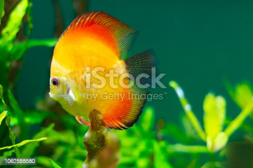 1037450870 istock photo exotic yellow fish in the water 1062588580