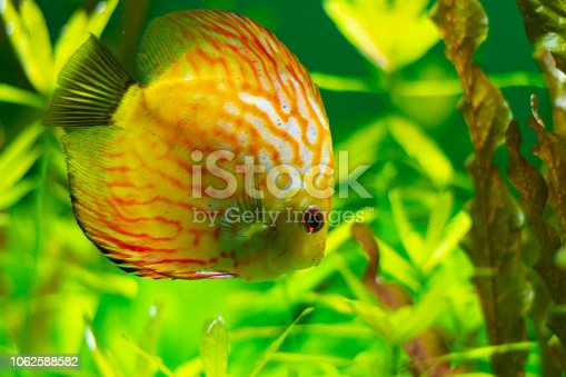 1037450870 istock photo exotic yellow fish in the water 1062588582