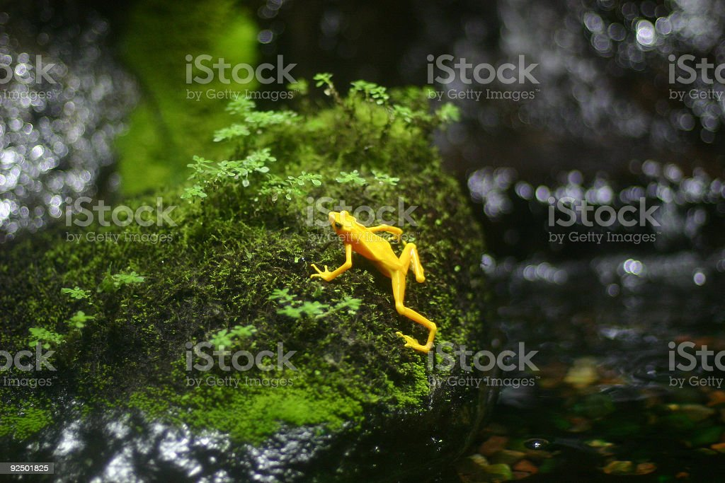 Exotic yellow frog royalty-free stock photo