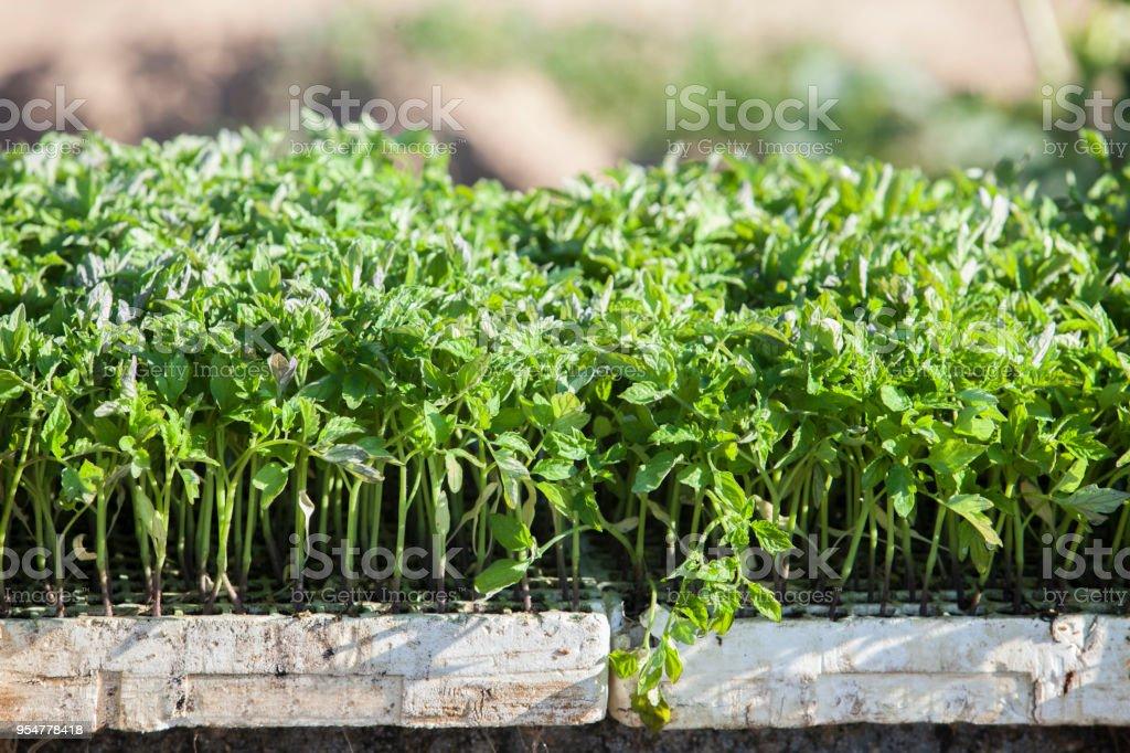 Expanded polystyrene trays full of tomato seedlings stock photo