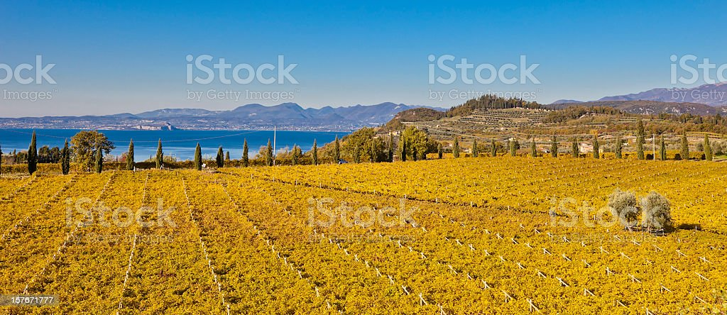 Expanse of Yellow Vineyards in Autumn, Italy stock photo