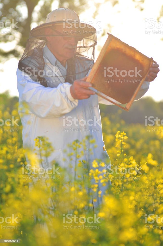 experienced senior apiarist working in the blooming rapeseed field stock photo