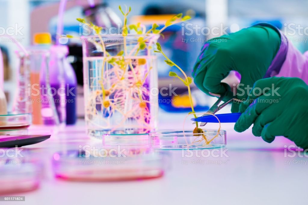 Experiment with genetically modified plants. Young woman laborat stock photo