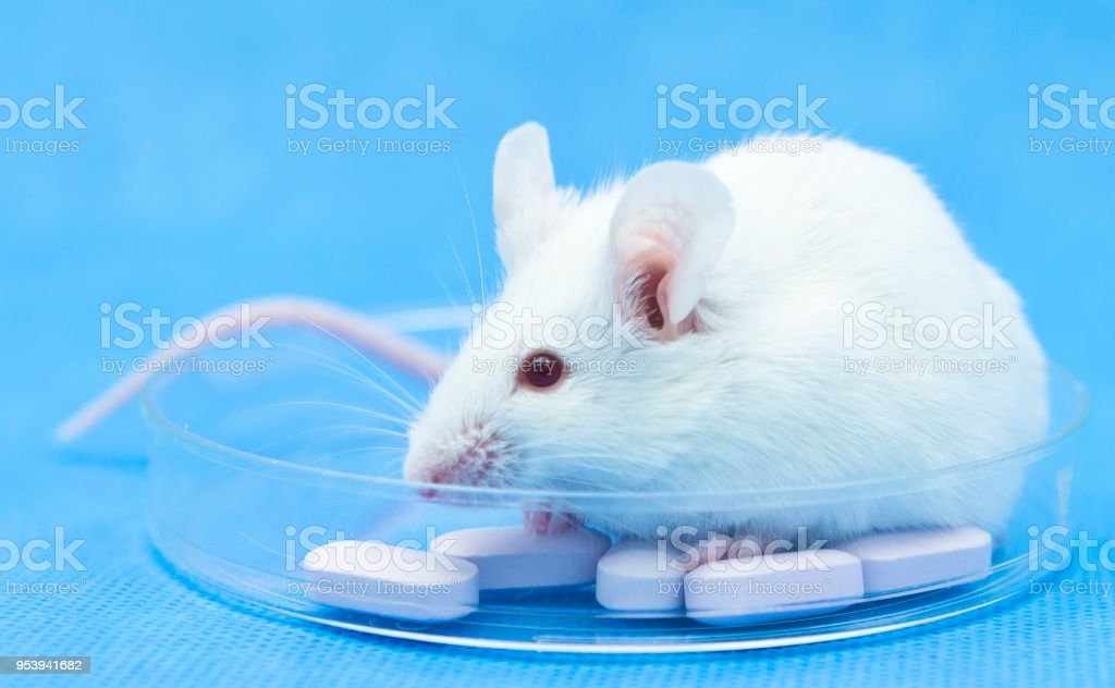 Experimental mice and pills on the petridish stock photo