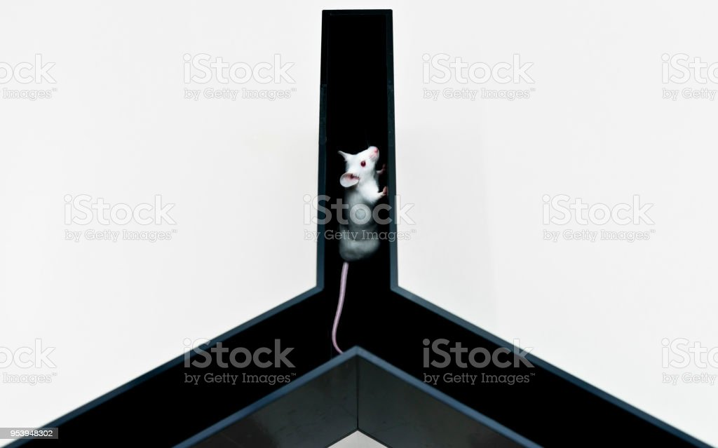 Experimental mice at Y-maze for study cognitive ability and behavior pattern stock photo