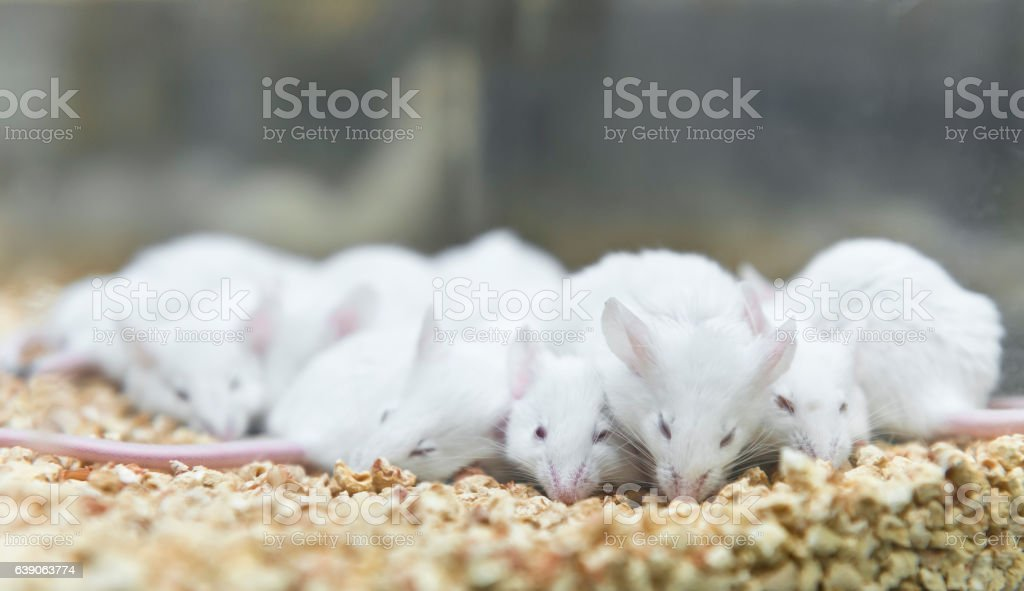 Experimental mice is sleeping in the IVC cage stock photo