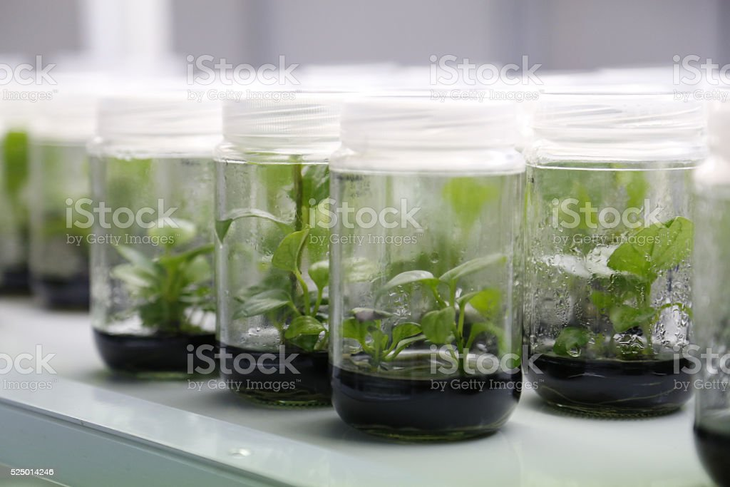 Experimental plants in glass jars in the lab stock photo