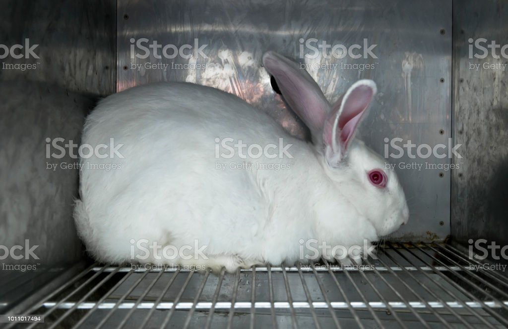 Experimental white rabbits in a cage stock photo