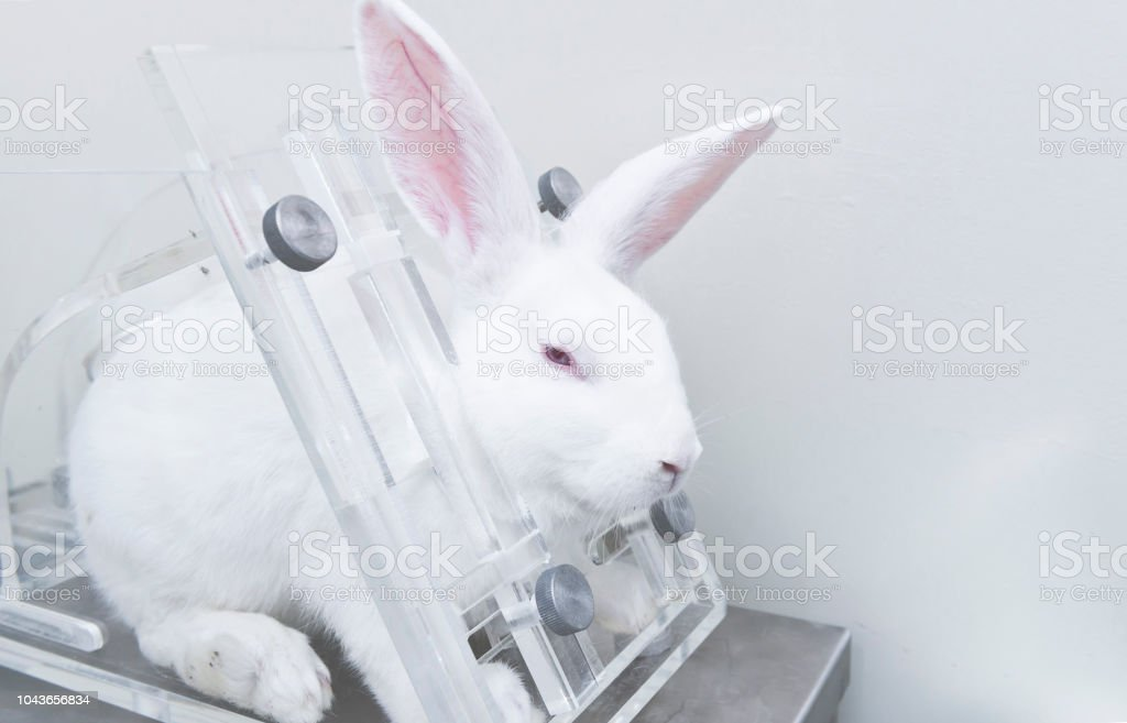 Experimental white rabbits in the acrylic restraint box stock photo