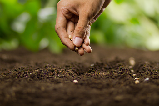A close up shot of an unrecognisable mature man wearing casual clothing. He is in a community garden and is holding out his muddy hands.