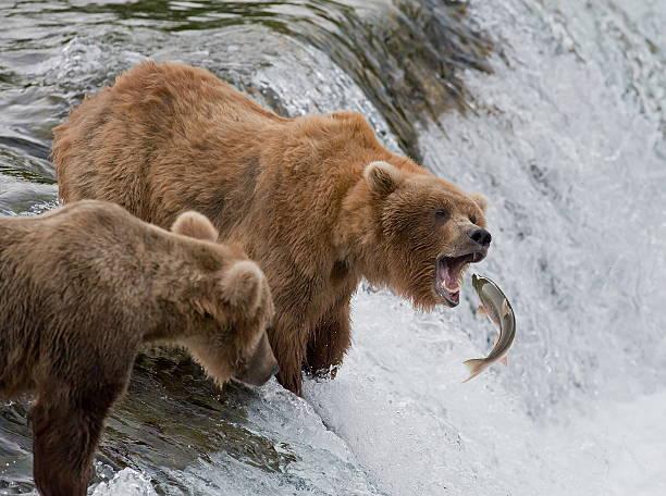 expert muelle de - oso fotografías e imágenes de stock