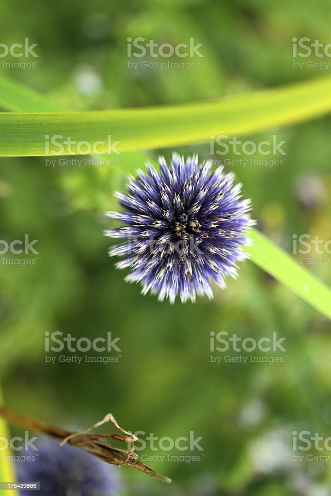 Exploding Flower royalty-free stock photo