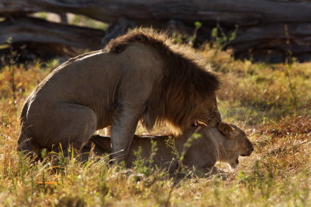 Expression of mating, Lion and lioness, Masai Mara stock photo