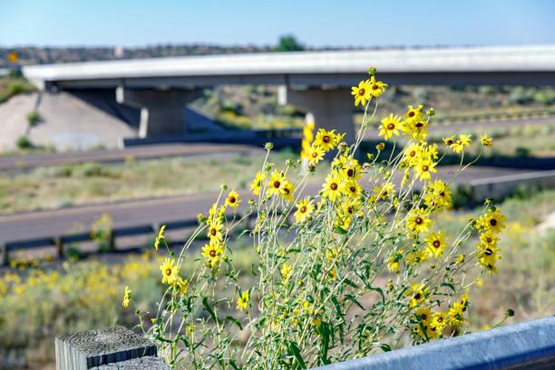 Schnellstraße Blühende gelbe Gänseblümchen Wildblumen – Foto