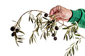 """A conceptual image showing """"extending an olive branch"""" in a peaceful way and isolated on pure white."""