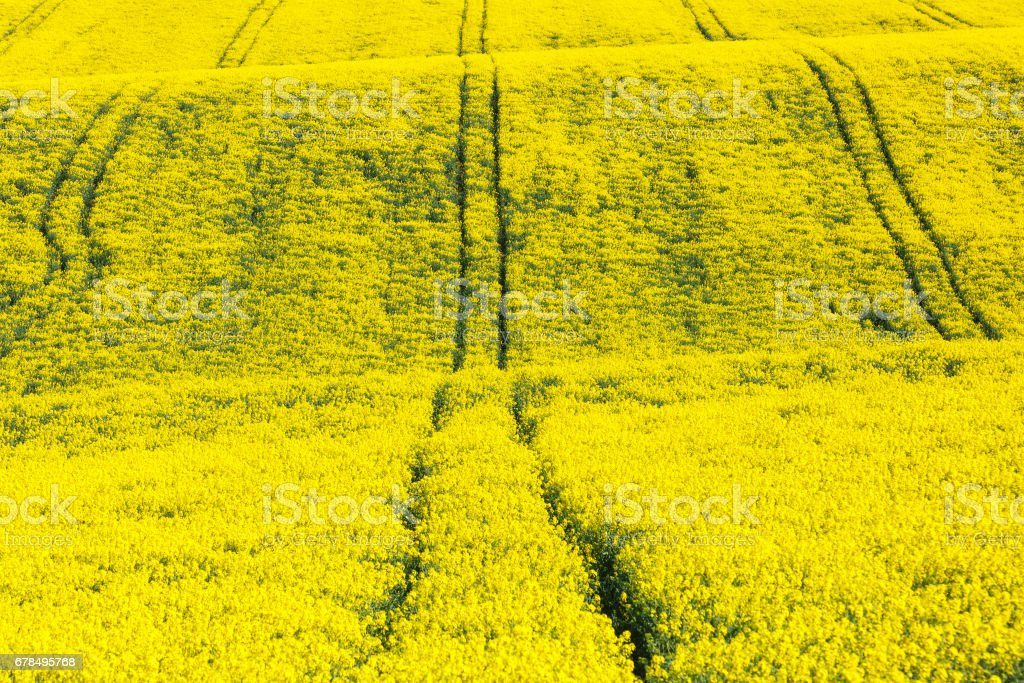 Extensive field of rapeseed stock photo