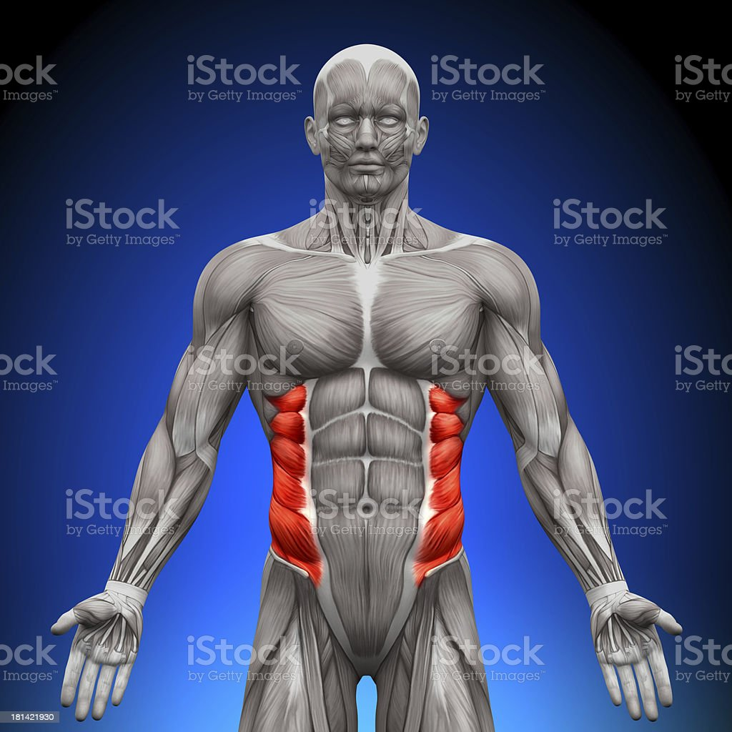 Oblicuo externo de anatomía los músculos - Foto de stock de Adulto libre de derechos