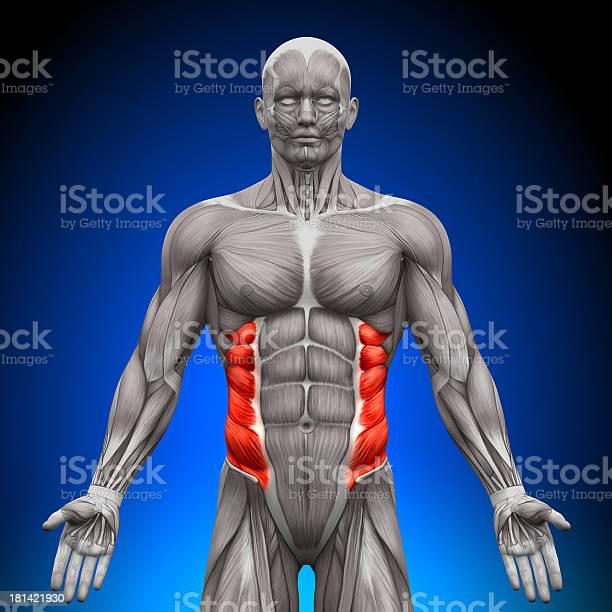 Oblicuo Externo De Anatomía Los Músculos Foto de stock y más banco de imágenes de Adulto