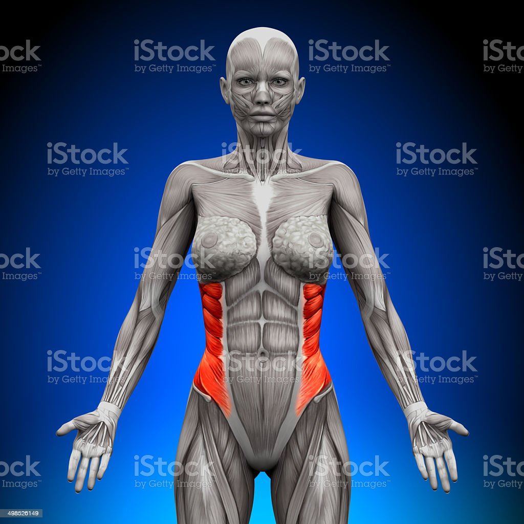 External Oblique Female Anatomy Muscles Stock Photo More Pictures
