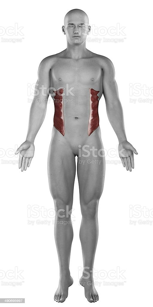 External Oblique Male Muscles Anatomy Anterior View Isolated Stock