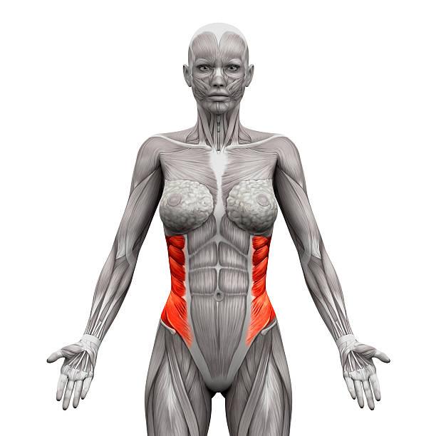 Músculo Oblicuo Externo - Stock Fotos e Imágenes - iStock