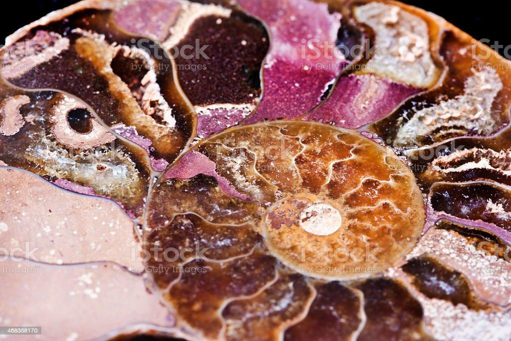 extinct marine invertebrate, ammonite royalty-free stock photo