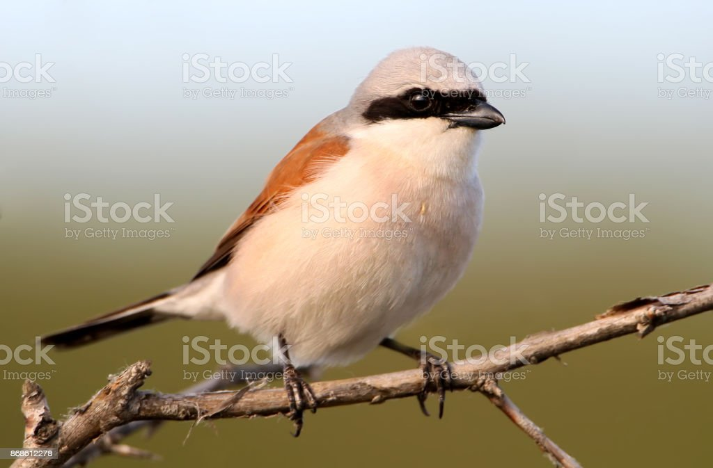 Extra close up portrait of male red backed shrike on blue-green background. stock photo