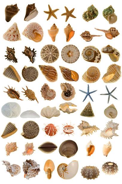 extragroße verschiedenen shell aus der ganzen welt - sanddollars stock-fotos und bilder