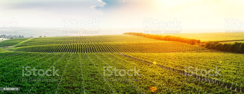 Extra wide panoramic shot of a summer vineyard at sunset stock photo