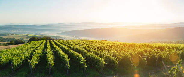 extra wide panoramic shot of a summer vineyard shot at sunset - moldova stock pictures, royalty-free photos & images