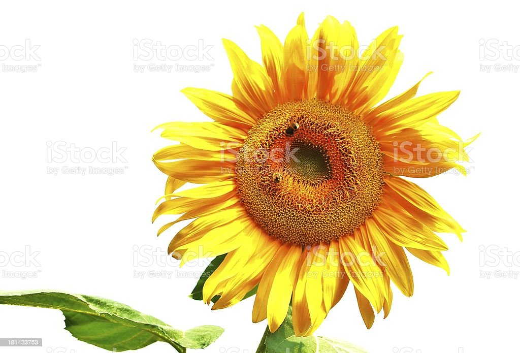 extraordinary, beautiful yellow sunflower stock photo