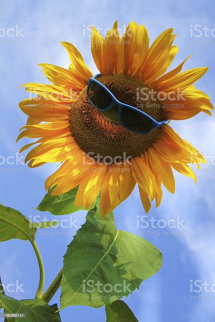 extraordinary, beautiful yellow sunflower with sunglasses stock photo