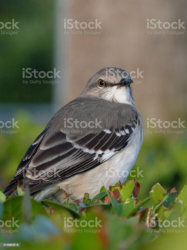 Extreme Close Up Florida State Bird Royalty Free Stock Photo