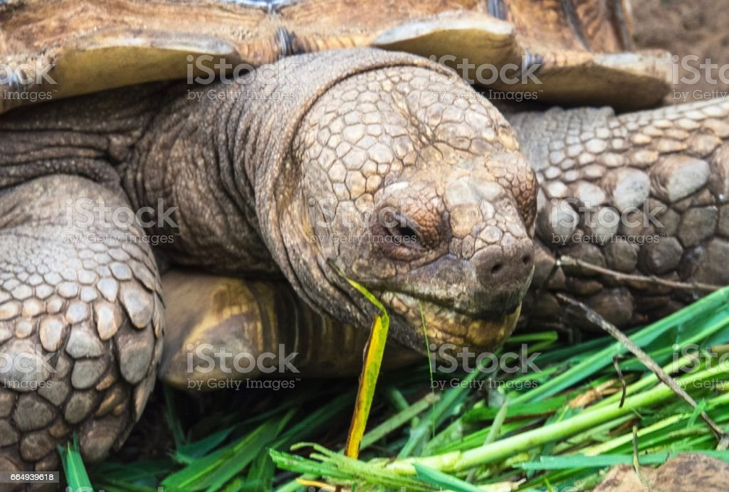 Extreme Close up : Giant Turtle Chewing Fresh Grass stock photo