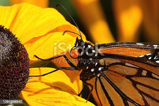 Monarch butterfly feeding on a bright yellow flower.