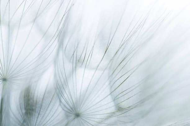 Extreme close up of dandelion stock photo