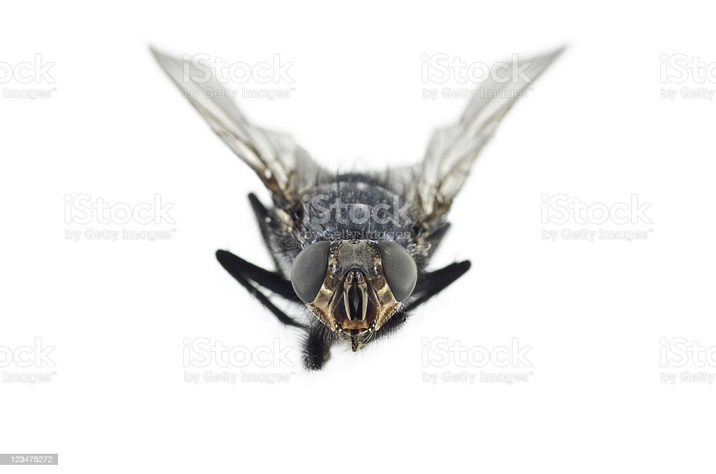 Extreme Close Up of Fly Insect stock photo
