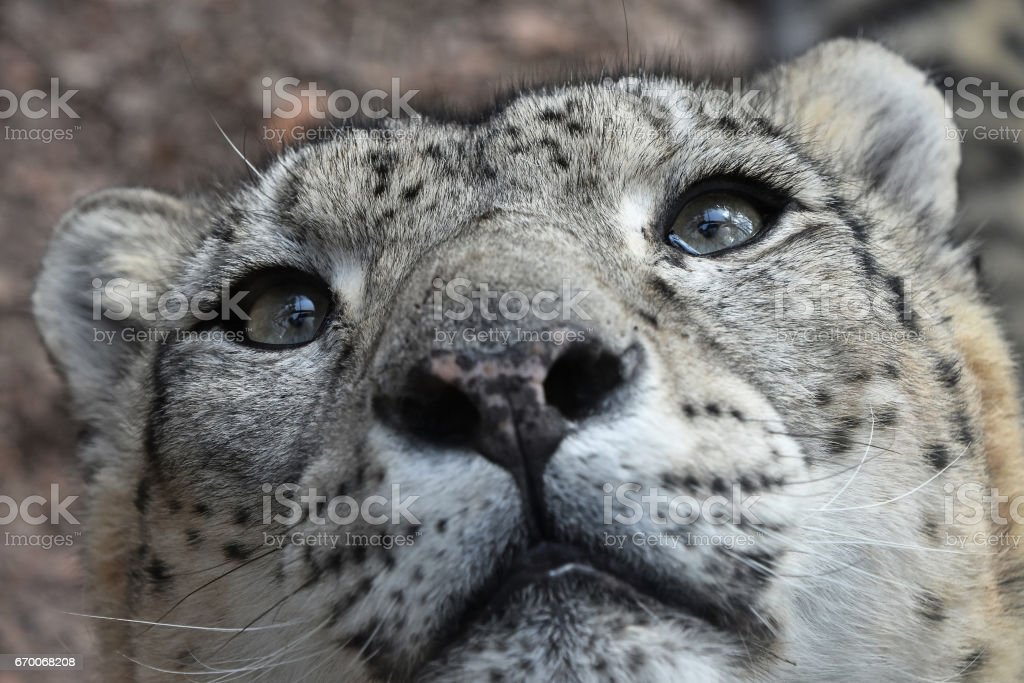 Extreme close up portrait of snow leopard stock photo