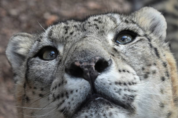 extreme close up portrait of snow leopard - carnivora stock photos and pictures