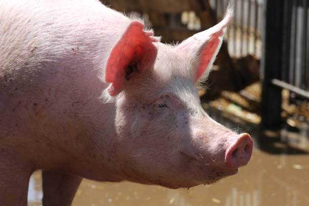 extreme close up portrait of young pig sow - allevatore foto e immagini stock