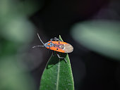 Extreme close up profile shot of small milkweed bug on skinny green grass outdoors, slow motion. lygaeus creticus