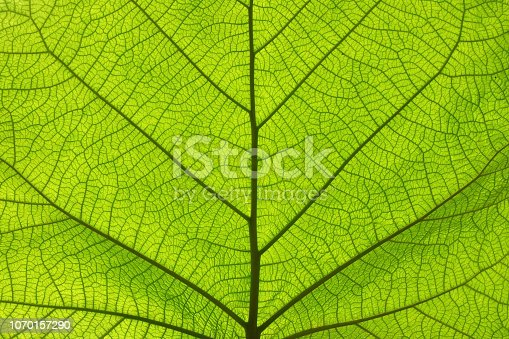 istock Extreme close up texture of green leaf veins 1070157290