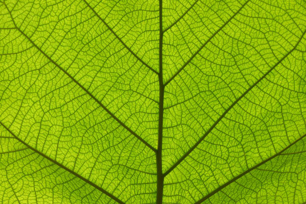 Extreme close up texture of green leaf veins Extreme close up background texture of backlit green leaf veins chlorophyll stock pictures, royalty-free photos & images