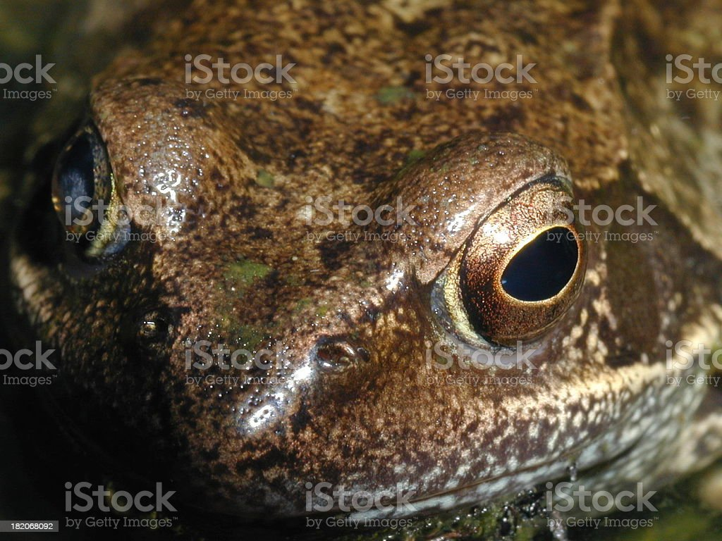 Extreme close up to Common Frog stock photo