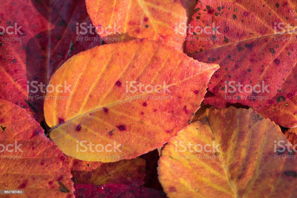Extreme closeup macro of an colorful autumn leaf with fine detail. Nature background. royalty-free stock photo